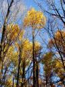 Gratitude-Yellow Trees