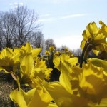 Daffodils with bare trees behind them