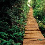 Wooden path through dense greenery