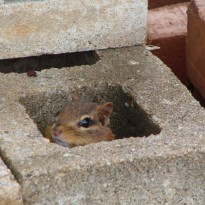 Chipmunk Hiding