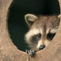 Raccoon-fear face