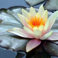 Lotus-Scarcity-Abundance