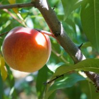What Do Peaches Have to Do with Your Values and Your Self-Care Skills?