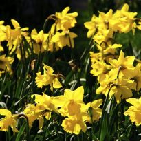 bloom daffodils