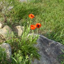 Poppies nurturing environment