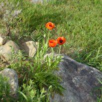 Poppies nurturing environment